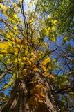 与分支的高大的树木在春天从下面有蓝天的 库存照片