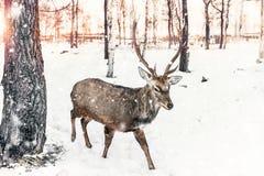 与分支的鹿角的一头美丽的幼小鹿在冬天在日落的积雪的森林里 库存照片