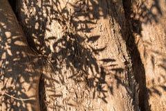 与分支阴影的橄榄树树干 免版税库存图片
