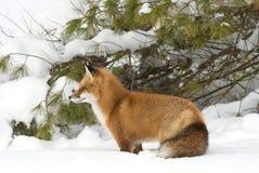 与分蘖性尾巴狩猎的一只镍耐热铜狐狸狐狸通过雪在冬天在阿尔根金族公园,加拿大 图库摄影