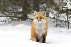 与分蘖性尾巴的一只镍耐热铜狐狸狐狸走通过雪的在阿尔根金族公园在加拿大 库存照片