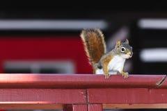 在红色栏杆的上树灰鼠 免版税库存照片