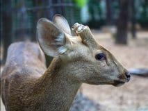 与切除垫铁的印地安肉猪鹿 免版税库存照片
