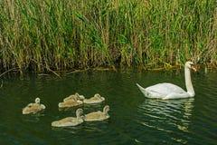与刚孵出的雏的天鹅在湖 图库摄影