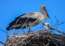 与刚孵出的雏的鹳 图库摄影