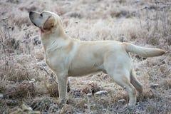 与创伤的拉布拉多猎犬狗在脖子 库存照片