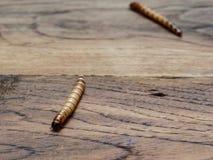 与别的一只超级或巨型蠕虫在黑暗的木表面的背景 库存照片