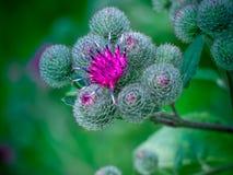 与刺和叶子的花蓟 免版税库存图片