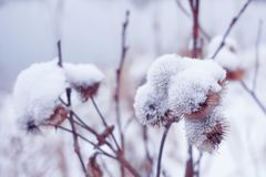 与刺植物名的花在冬天 库存图片