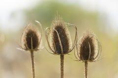 与刺晴朗的后面光的三朵干燥花 免版税库存照片