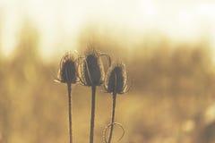 与刺晴朗的后面光线影响的三朵干燥花 免版税图库摄影