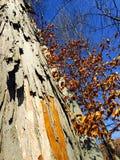与削皮吠声的一棵树 库存照片