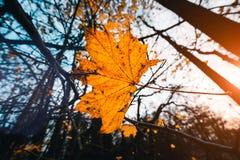 与前棵黄色枫叶和树的晚秋天在背景中 库存图片