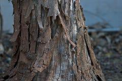 与剥落的吠声的老树干 免版税库存图片