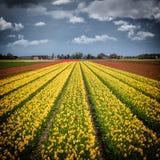 与剧烈的天空的郁金香领域,自然风景,荷兰 免版税库存图片
