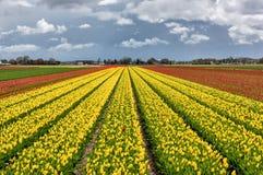 与剧烈的天空的郁金香领域,自然风景,荷兰 免版税图库摄影