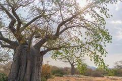 与剧烈的天空的非洲猴面包树 安格斯 免版税库存照片