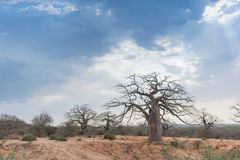 与剧烈的天空的非洲猴面包树 安格斯 库存照片