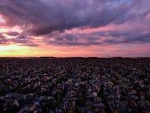 与剧烈的日落天空的圆白菜领域 库存照片