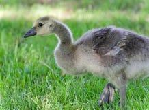 与加拿大鹅一只逗人喜爱的小鸡的图片  免版税图库摄影