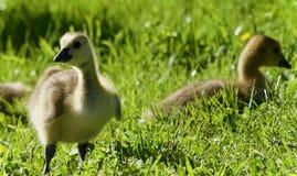 与加拿大鹅两三只小鸡的明信片  免版税图库摄影