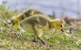 与加拿大鹅两只小鸡的美好的图片  库存图片