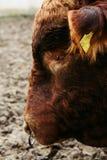 与动物之鼻圈的公牛 库存图片