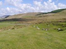 与包含绵羊的凹陷的领域 免版税库存照片