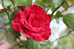 与包缠玫瑰的桃红色条纹的红色在上面趋向对太阳 图库摄影