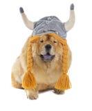 与北欧海盗帽子的咸菜狗 库存照片