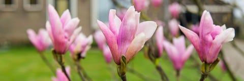 与北美鹅掌楸花的横幅 库存照片