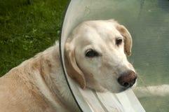 与医疗衣领的拉布拉多狗 免版税库存照片