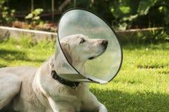 与医疗衣领的拉布拉多狗 免版税图库摄影