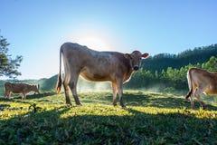 与升起的太阳的母牛后边 免版税库存图片