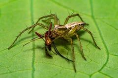 与午餐的一只天猫座蜘蛛 图库摄影