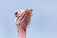 与半闭内在的眼皮的美丽的红色驼鸟 库存图片
