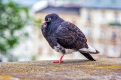 与半闭的眼睛和被翻动的羽毛的滑稽的困鸽子 库存照片