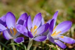 与华美的紫色番红花的小组 库存照片