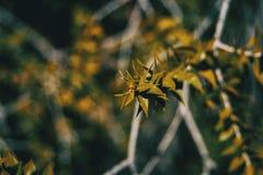 与南洋杉bidwillii绿色叶子的一个分支  库存图片