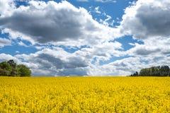 与印象深刻的cloudscape的开花的强奸领域 库存图片