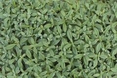 与卵形叶子的绿草 免版税库存图片