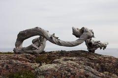 与卵形形状的断枝在岩石 图库摄影
