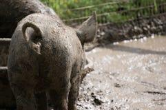 与卷曲尾巴射击的泥泞的猪从后面 库存照片