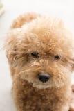 与卷曲毛皮的逗人喜爱的玩具狮子狗 图库摄影