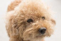 与卷曲毛皮的逗人喜爱的玩具狮子狗 免版税库存照片