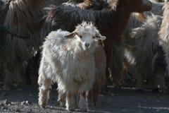 与卷曲毛茸的羊毛立场的一只小白色山羊,在背景中山羊牧群  库存照片