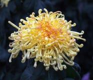 与卷曲瓣的菊花 库存图片