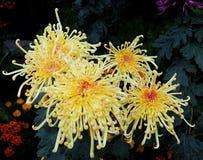 与卷曲瓣的黄色菊花 免版税库存图片