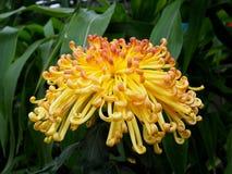 与卷曲瓣的黄色菊花 免版税库存照片