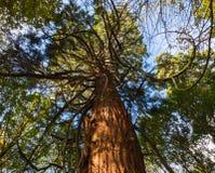 与卷曲的分支的美国加州红杉树在森林里 免版税库存照片